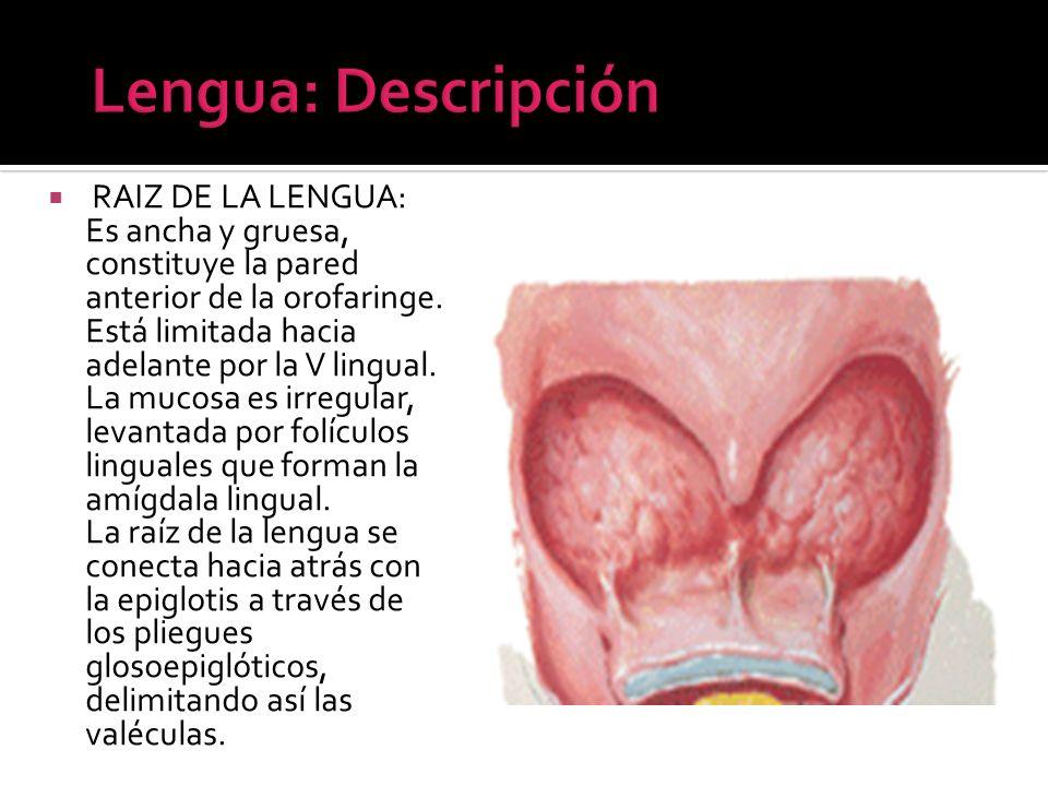 RAIZ DE LA LENGUA: Es ancha y gruesa, constituye la pared anterior de la orofaringe. Está limitada hacia adelante por la V lingual. La mucosa es irreg