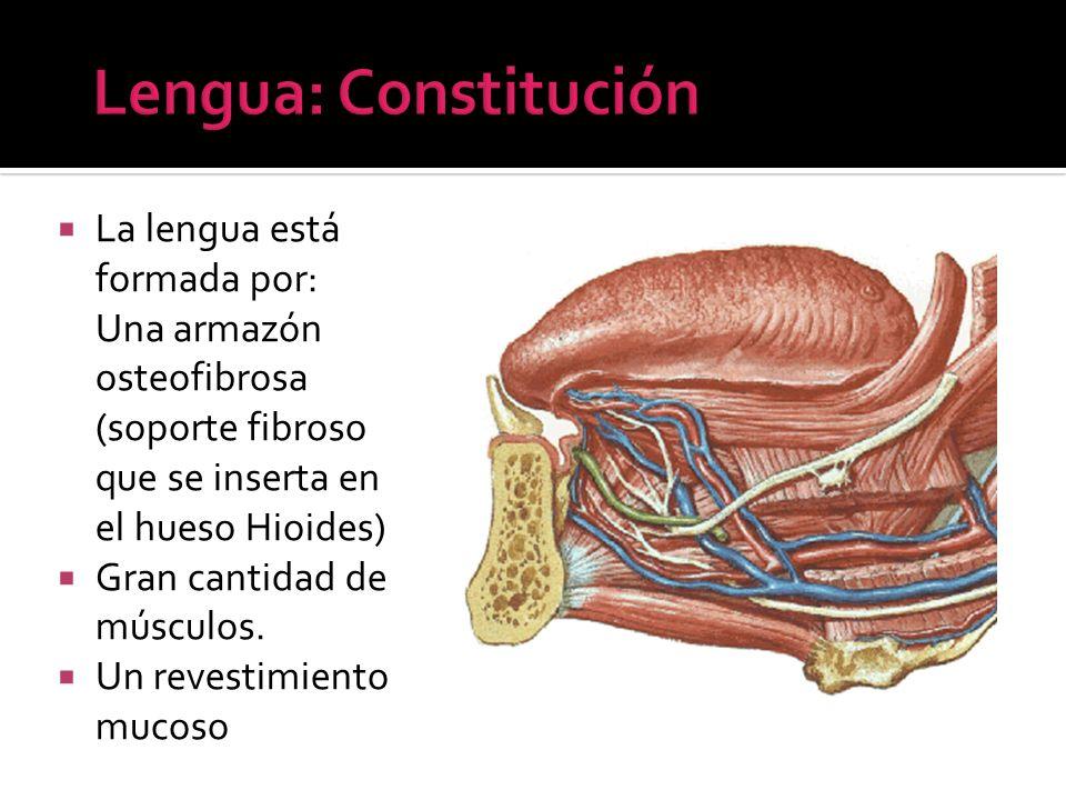 La lengua está formada por: Una armazón osteofibrosa (soporte fibroso que se inserta en el hueso Hioides) Gran cantidad de músculos. Un revestimiento