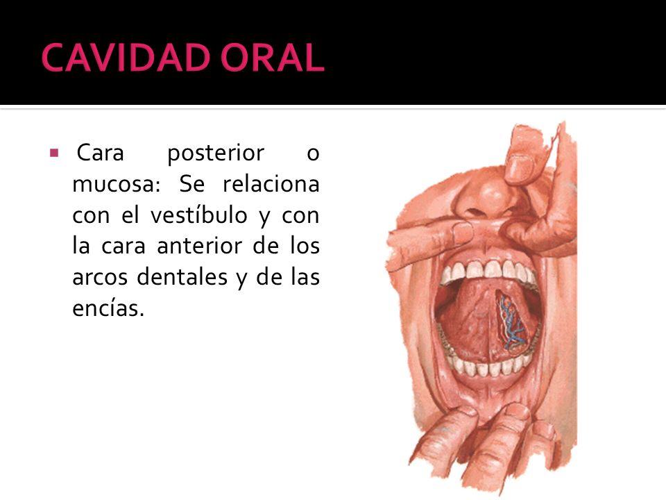 Cara posterior o mucosa: Se relaciona con el vestíbulo y con la cara anterior de los arcos dentales y de las encías.