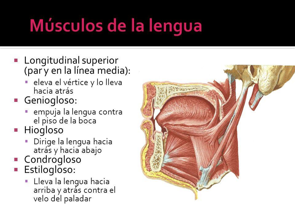 Longitudinal superior (par y en la línea media): eleva el vértice y lo lleva hacia atrás Geniogloso: empuja la lengua contra el piso de la boca Hioglo