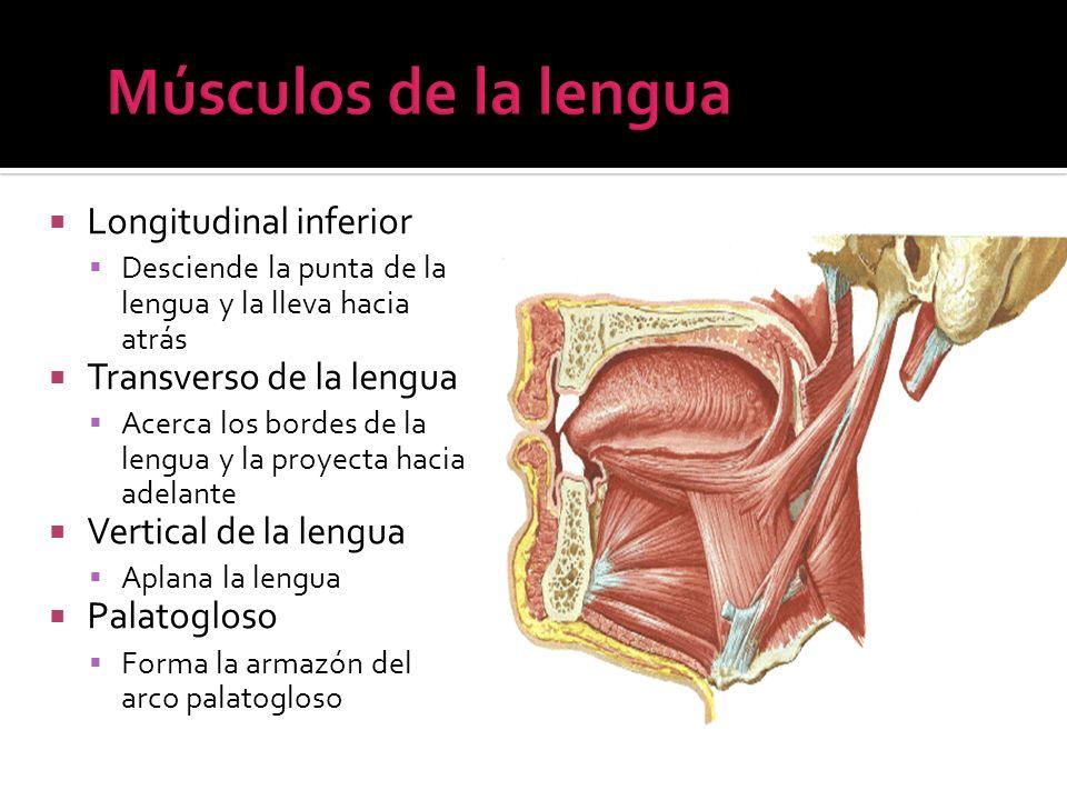 Longitudinal inferior Desciende la punta de la lengua y la lleva hacia atrás Transverso de la lengua Acerca los bordes de la lengua y la proyecta haci