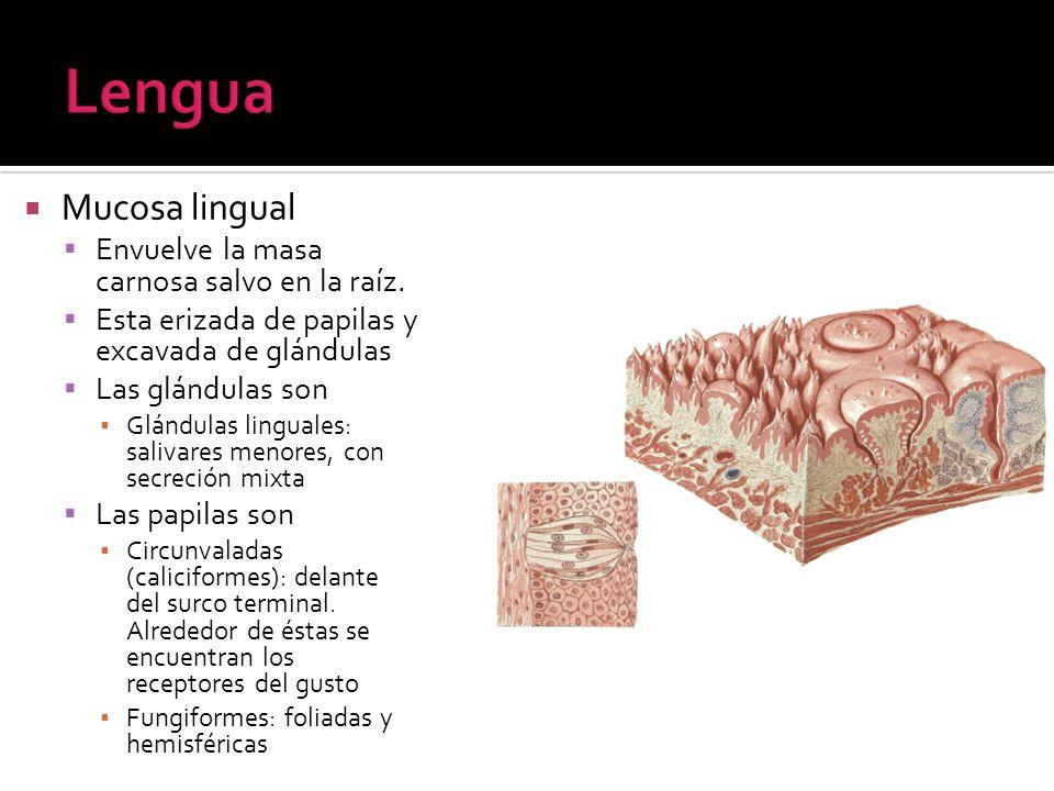 Mucosa lingual Envuelve la masa carnosa salvo en la raíz. Esta erizada de papilas y excavada de glándulas Las glándulas son Glándulas linguales: saliv