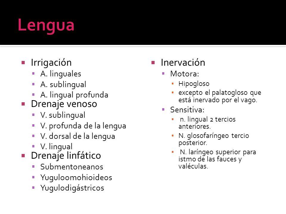 Irrigación A. linguales A. sublingual A. lingual profunda Drenaje venoso V. sublingual V. profunda de la lengua V. dorsal de la lengua V. lingual Dren