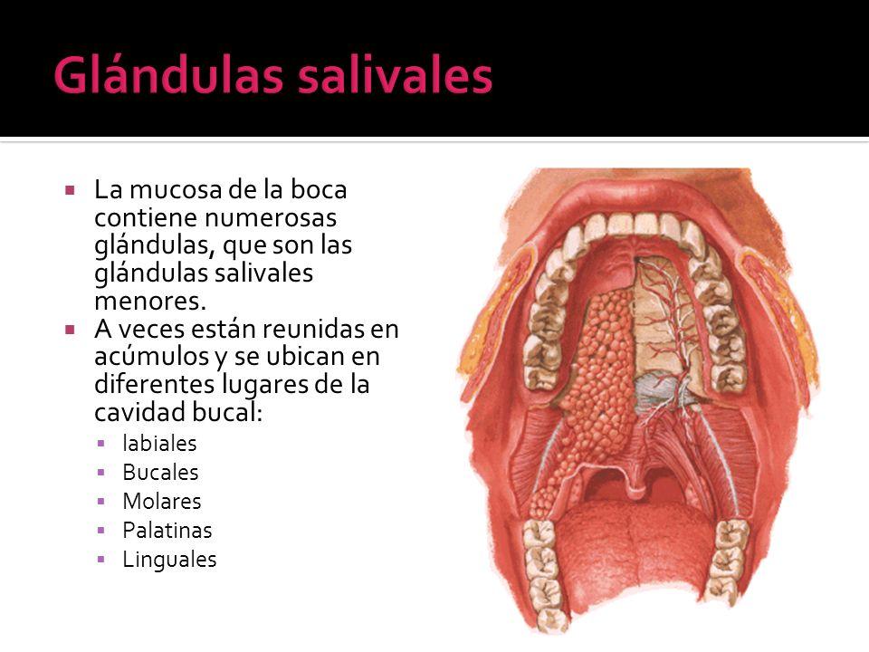 La mucosa de la boca contiene numerosas glándulas, que son las glándulas salivales menores. A veces están reunidas en acúmulos y se ubican en diferent