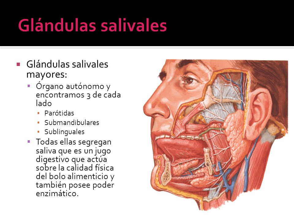 Glándulas salivales mayores: Órgano autónomo y encontramos 3 de cada lado Parótidas Submandibulares Sublinguales Todas ellas segregan saliva que es un