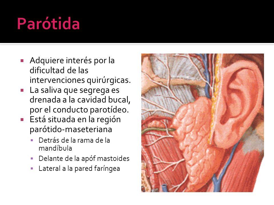 Adquiere interés por la dificultad de las intervenciones quirúrgicas. La saliva que segrega es drenada a la cavidad bucal, por el conducto parotídeo.