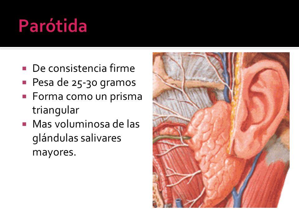 De consistencia firme Pesa de 25-30 gramos Forma como un prisma triangular Mas voluminosa de las glándulas salivares mayores.