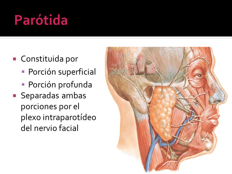 Constituida por Porción superficial Porción profunda Separadas ambas porciones por el plexo intraparotídeo del nervio facial