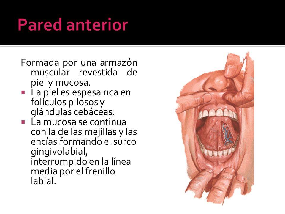 Paladar blando o velo del paladar Constitución: Armazón aponeurótica (aponeurosis palatina) Aparato muscular: asegura la movilidad del paladar blando M.