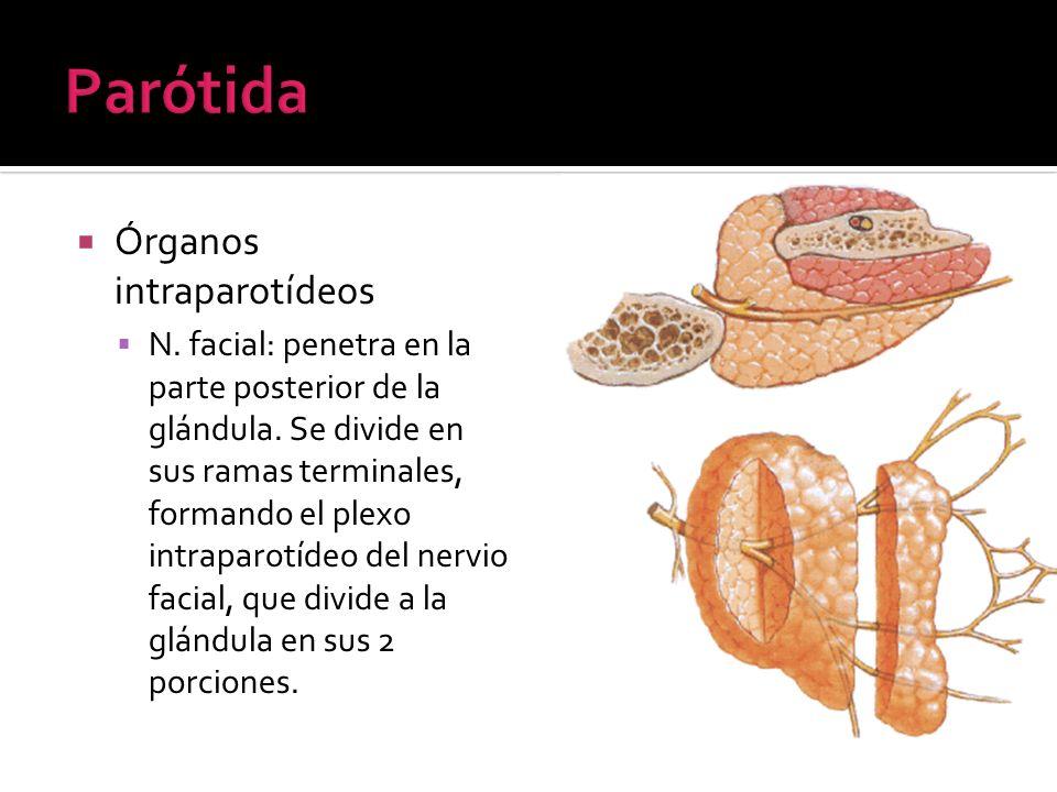 Órganos intraparotídeos N. facial: penetra en la parte posterior de la glándula. Se divide en sus ramas terminales, formando el plexo intraparotídeo d