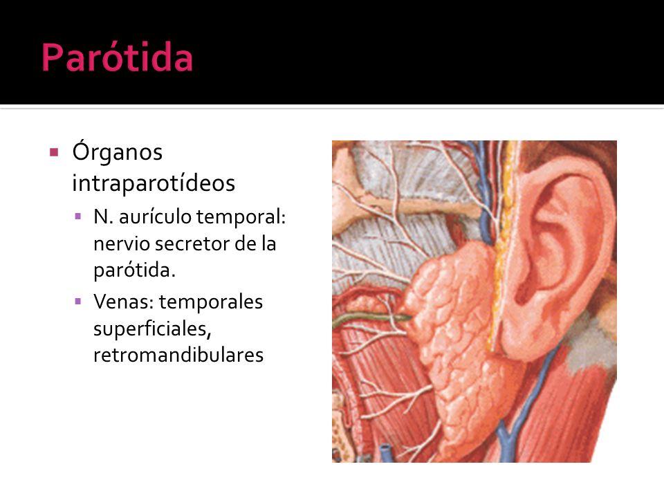 Órganos intraparotídeos N. aurículo temporal: nervio secretor de la parótida. Venas: temporales superficiales, retromandibulares
