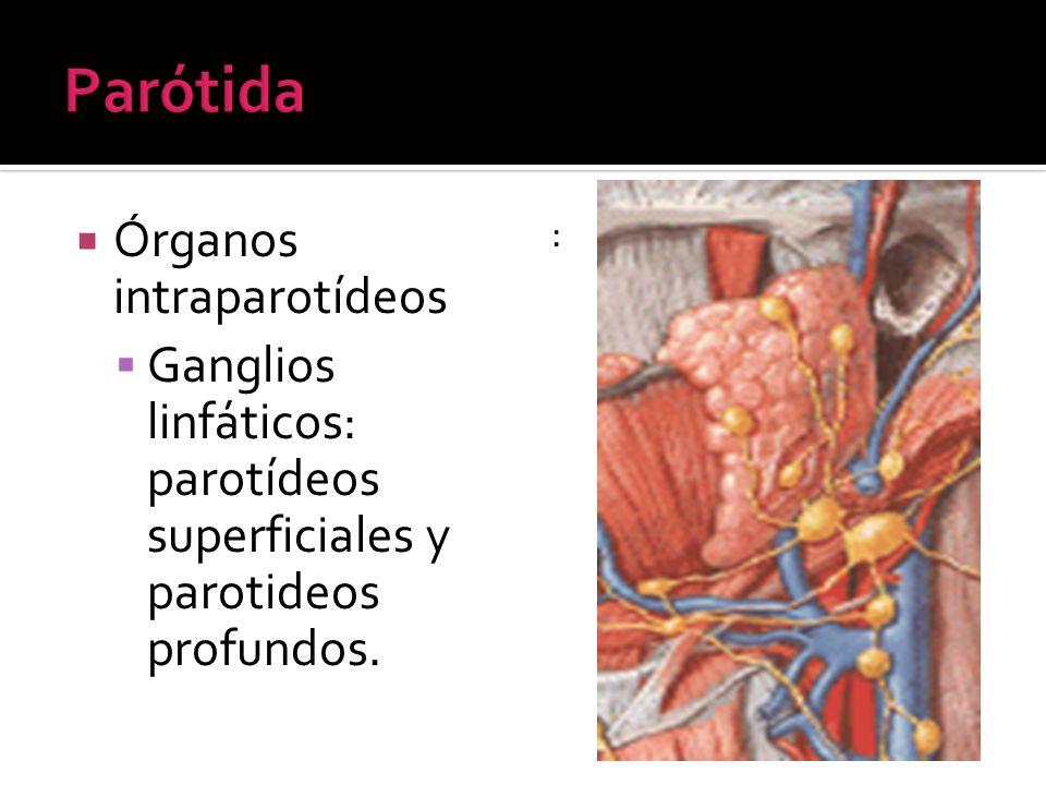 Órganos intraparotídeos Ganglios linfáticos: parotídeos superficiales y parotideos profundos. :