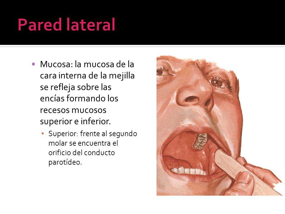 Mucosa: la mucosa de la cara interna de la mejilla se refleja sobre las encías formando los recesos mucosos superior e inferior. Superior: frente al s