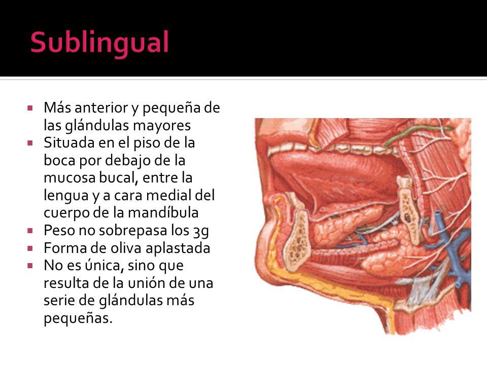 Más anterior y pequeña de las glándulas mayores Situada en el piso de la boca por debajo de la mucosa bucal, entre la lengua y a cara medial del cuerp