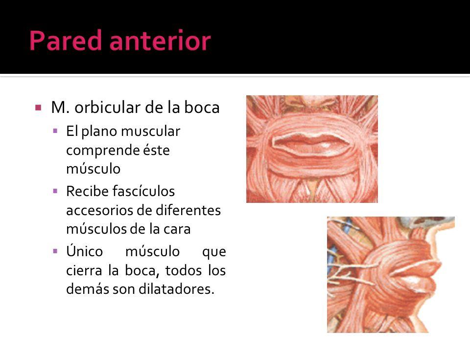 M. orbicular de la boca El plano muscular comprende éste músculo Recibe fascículos accesorios de diferentes músculos de la cara Único músculo que cier