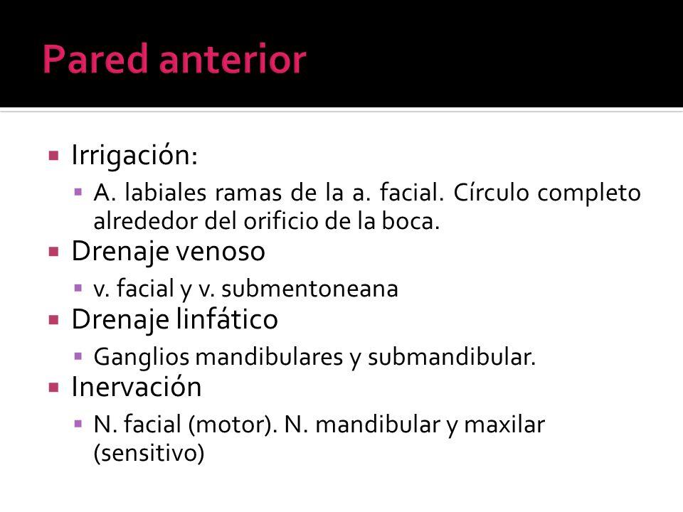 Irrigación: A. labiales ramas de la a. facial. Círculo completo alrededor del orificio de la boca. Drenaje venoso v. facial y v. submentoneana Drenaje