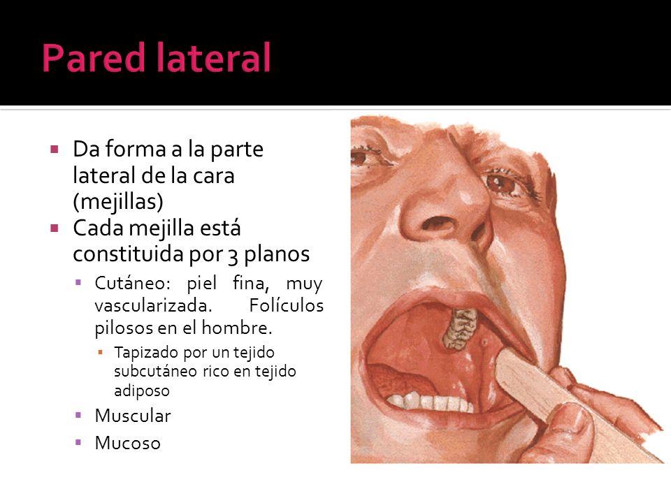 Da forma a la parte lateral de la cara (mejillas) Cada mejilla está constituida por 3 planos Cutáneo: piel fina, muy vascularizada. Folículos pilosos