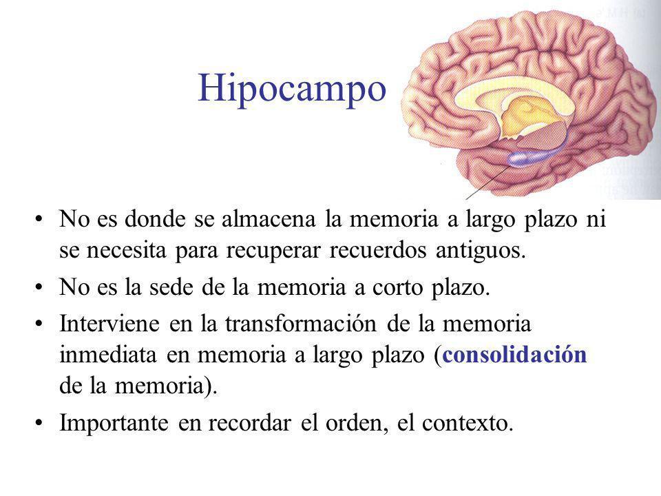 Hipocampo No es donde se almacena la memoria a largo plazo ni se necesita para recuperar recuerdos antiguos. No es la sede de la memoria a corto plazo