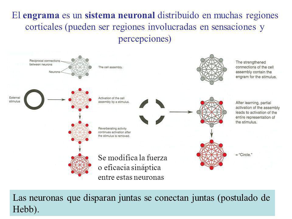 El engrama es un sistema neuronal distribuido en muchas regiones corticales (pueden ser regiones involucradas en sensaciones y percepciones) Pérdida d