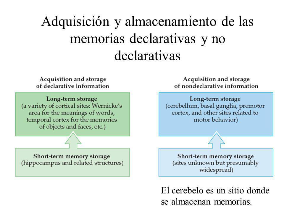 Adquisición y almacenamiento de las memorias declarativas y no declarativas El cerebelo es un sitio donde se almacenan memorias.