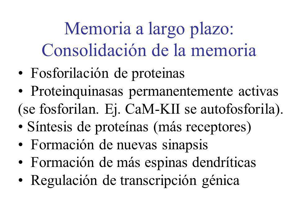 Memoria a largo plazo: Consolidación de la memoria Fosforilación de proteinas Proteinquinasas permanentemente activas (se fosforilan. Ej. CaM-KII se a