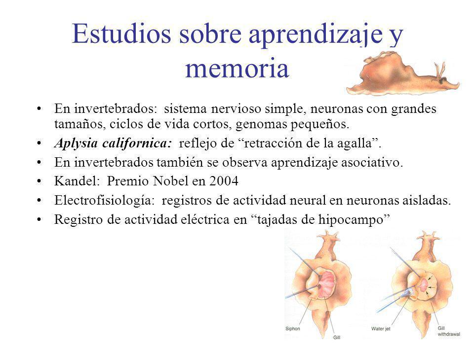 Estudios sobre aprendizaje y memoria En invertebrados: sistema nervioso simple, neuronas con grandes tamaños, ciclos de vida cortos, genomas pequeños.