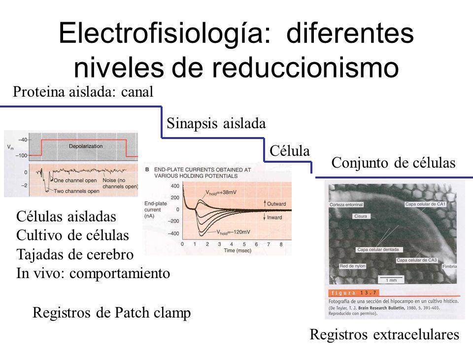 Electrofisiología: diferentes niveles de reduccionismo Proteina aislada: canal Sinapsis aislada Célula Conjunto de células Células aisladas Cultivo de