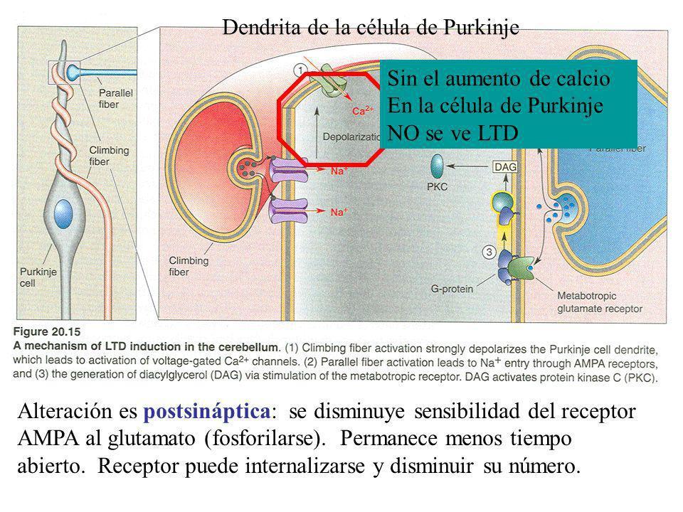 Alteración es postsináptica: se disminuye sensibilidad del receptor AMPA al glutamato (fosforilarse). Permanece menos tiempo abierto. Receptor puede i