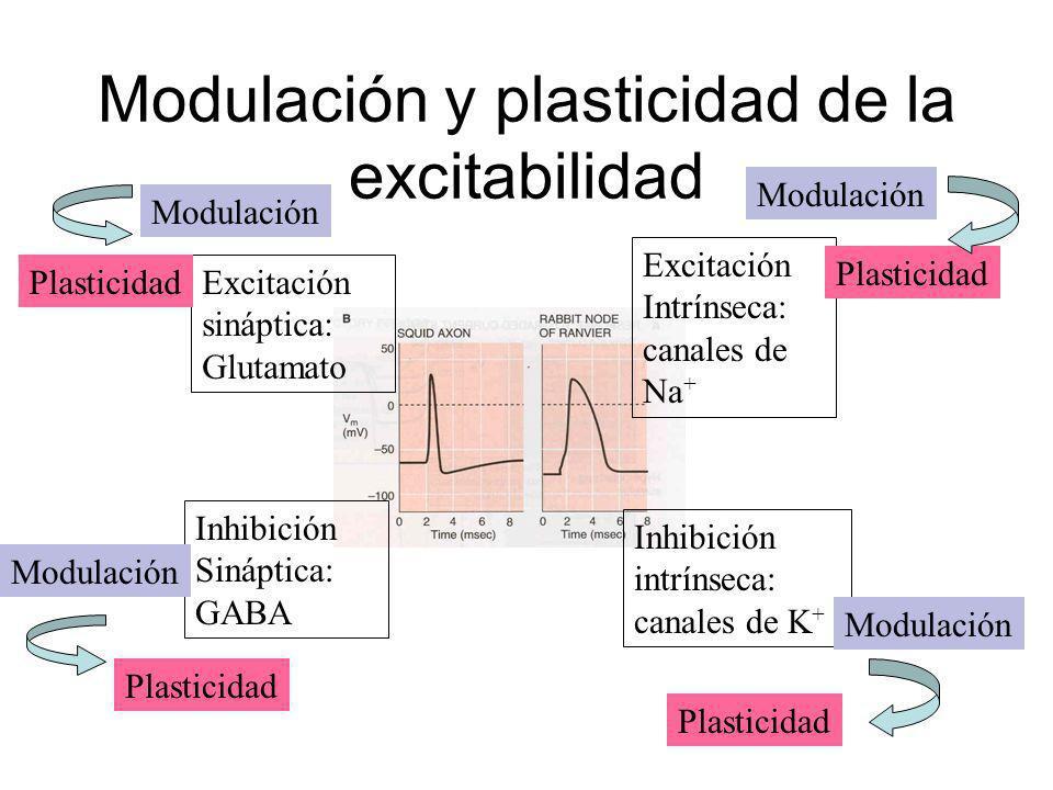 Modulación y plasticidad de la excitabilidad Excitación sináptica: Glutamato Inhibición Sináptica: GABA Excitación Intrínseca: canales de Na + Inhibic