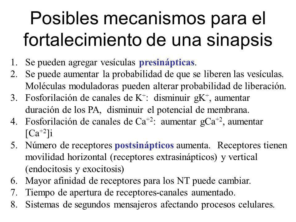 Posibles mecanismos para el fortalecimiento de una sinapsis 1.Se pueden agregar vesículas presinápticas. 2.Se puede aumentar la probabilidad de que se