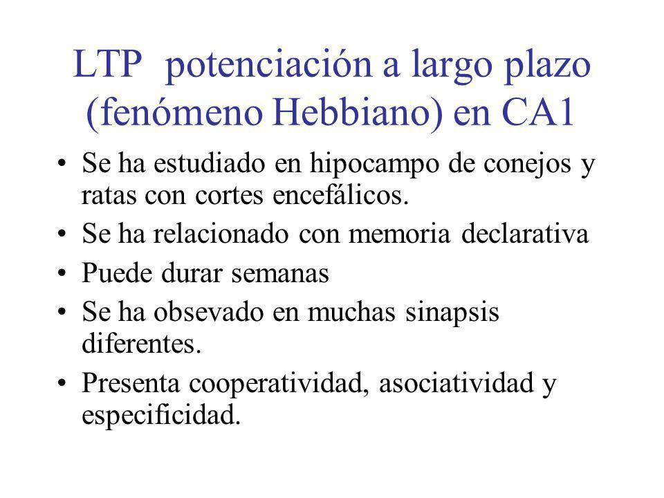 LTP potenciación a largo plazo (fenómeno Hebbiano) en CA1 Se ha estudiado en hipocampo de conejos y ratas con cortes encefálicos. Se ha relacionado co