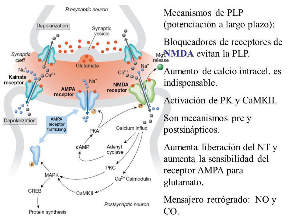 Mecanismos de PLP (potenciación a largo plazo): Bloqueadores de receptores de NMDA evitan la PLP. Aumento de calcio intracel. es indispensable. Activa