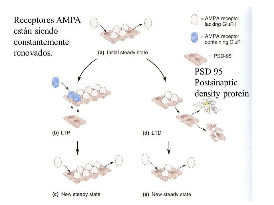 PSD 95 Postsinaptic density protein Receptores AMPA están siendo constantemente renovados.