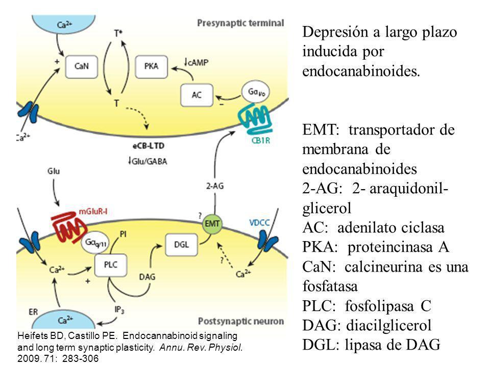 Depresión a largo plazo inducida por endocanabinoides. EMT: transportador de membrana de endocanabinoides 2-AG: 2- araquidonil- glicerol AC: adenilato