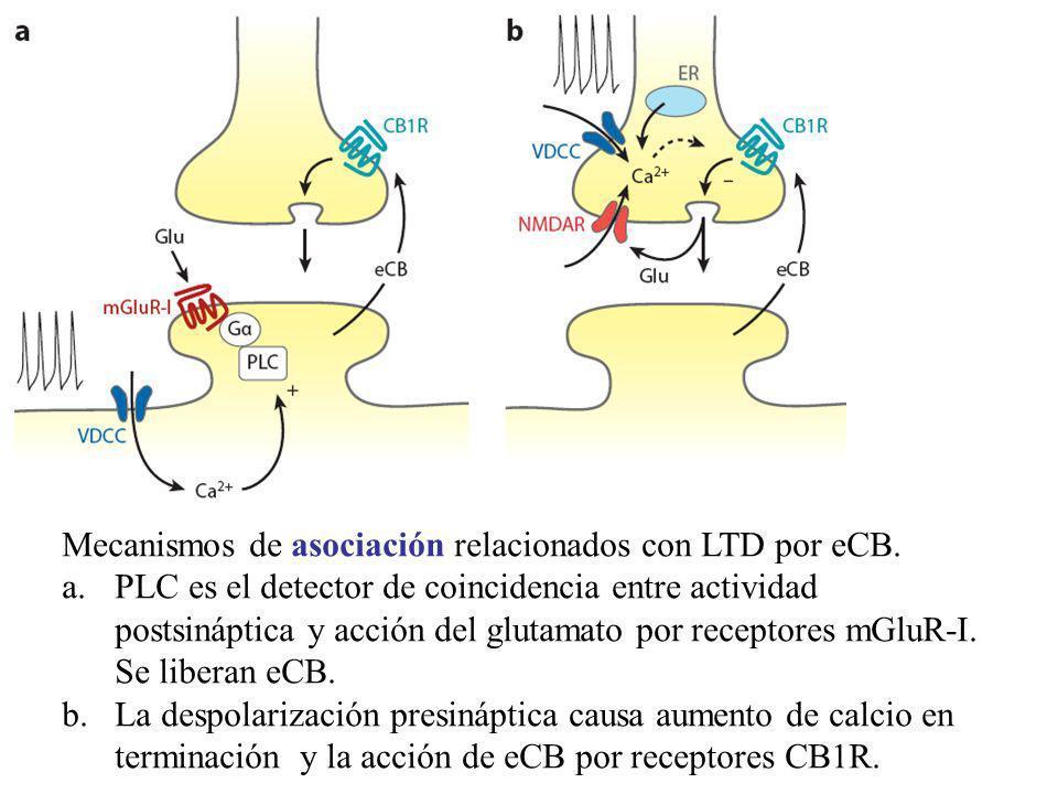 Mecanismos de asociación relacionados con LTD por eCB. a.PLC es el detector de coincidencia entre actividad postsináptica y acción del glutamato por r