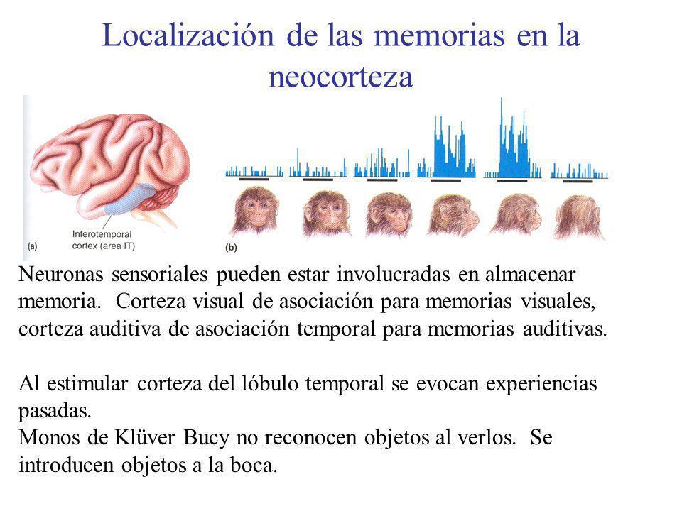 Localización de las memorias en la neocorteza Neuronas sensoriales pueden estar involucradas en almacenar memoria. Corteza visual de asociación para m