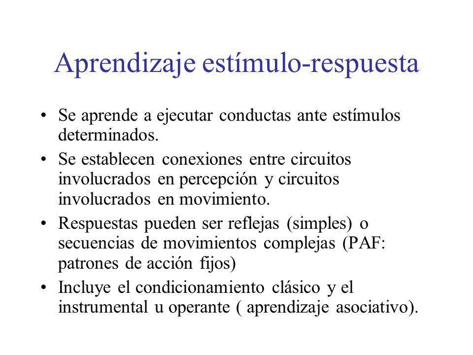 Aprendizaje estímulo-respuesta Se aprende a ejecutar conductas ante estímulos determinados. Se establecen conexiones entre circuitos involucrados en p
