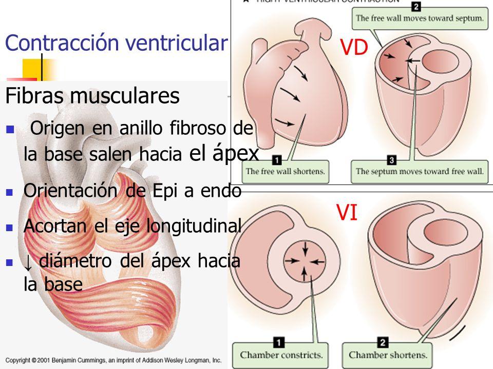 VD VI Fibras musculares Origen en anillo fibroso de la base salen hacia el ápex Orientación de Epi a endo Acortan el eje longitudinal diámetro del ápe