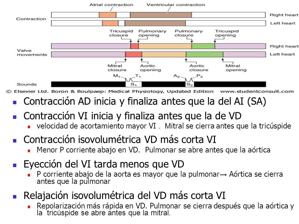 Contracción AD inicia y finaliza antes que la del AI (SA) Contracción VI inicia y finaliza antes que la de VD velocidad de acortamiento mayor VI. M it