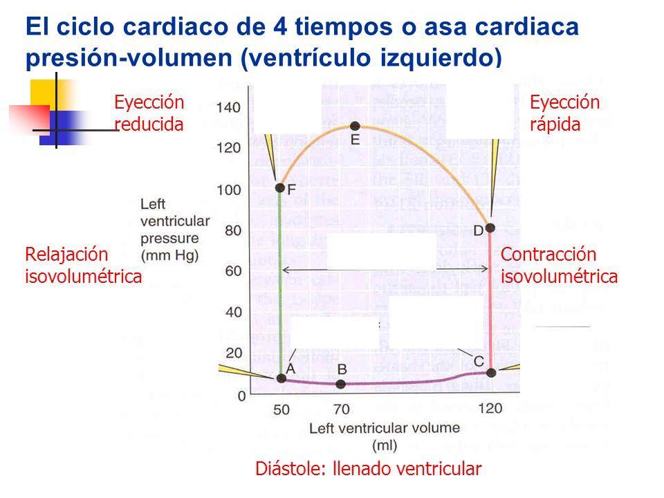 El ciclo cardiaco de 4 tiempos o asa cardiaca presión-volumen (ventrículo izquierdo) Diástole: llenado ventricular Contracción isovolumétrica Eyección