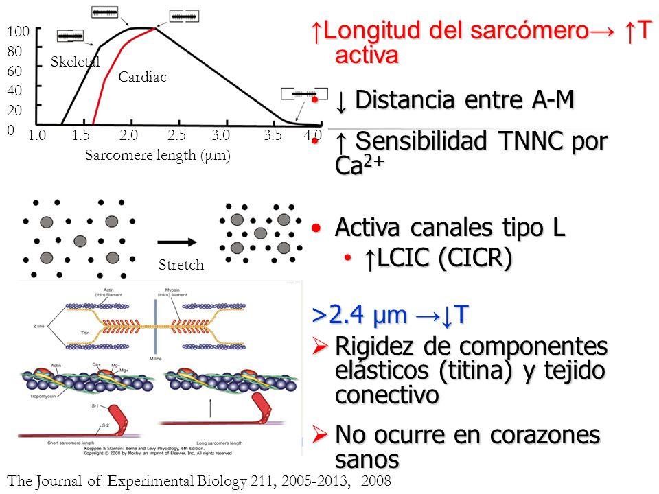 Longitud del sarcómero T activa Distancia entre A-M Distancia entre A-M S ensibilidad TNNC por Ca 2+ S ensibilidad TNNC por Ca 2+ Activa canales tipo