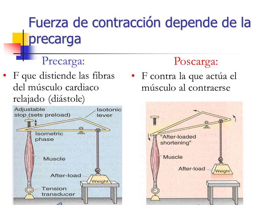 Fuerza de contracción depende de la precarga Precarga: F que distiende las fibras del músculo cardiaco relajado (diástole) Poscarga: F contra la que a