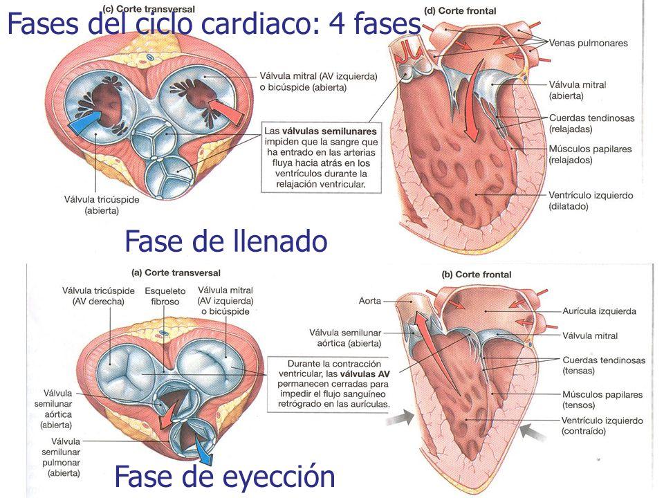 Fases del ciclo cardiaco: 4 fases Fase de llenado Fase de eyección