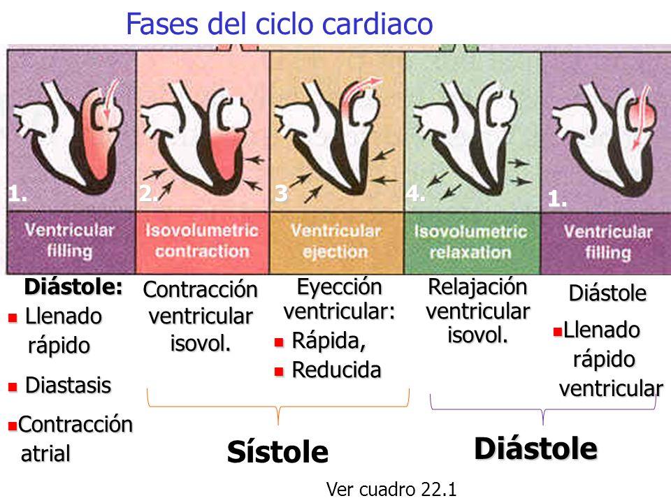 El ciclo cardiaco de 4 tiempos o asa cardiaca presión-volumen (ventrículo izquierdo) Diástole: llenado ventricular Contracción isovolumétrica Eyección rápida Eyección reducida Relajación isovolumétrica