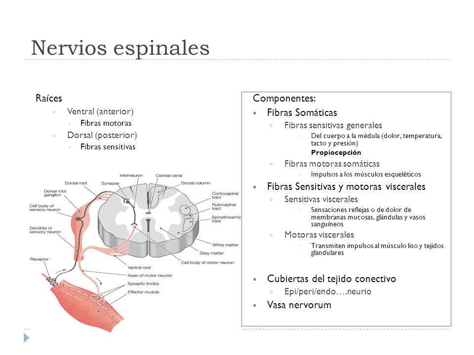 Nervios espinales Raíces Ventral (anterior) Fibras motoras Dorsal (posterior) Fibras sensitivas Componentes: Fibras Somáticas Fibras sensitivas genera