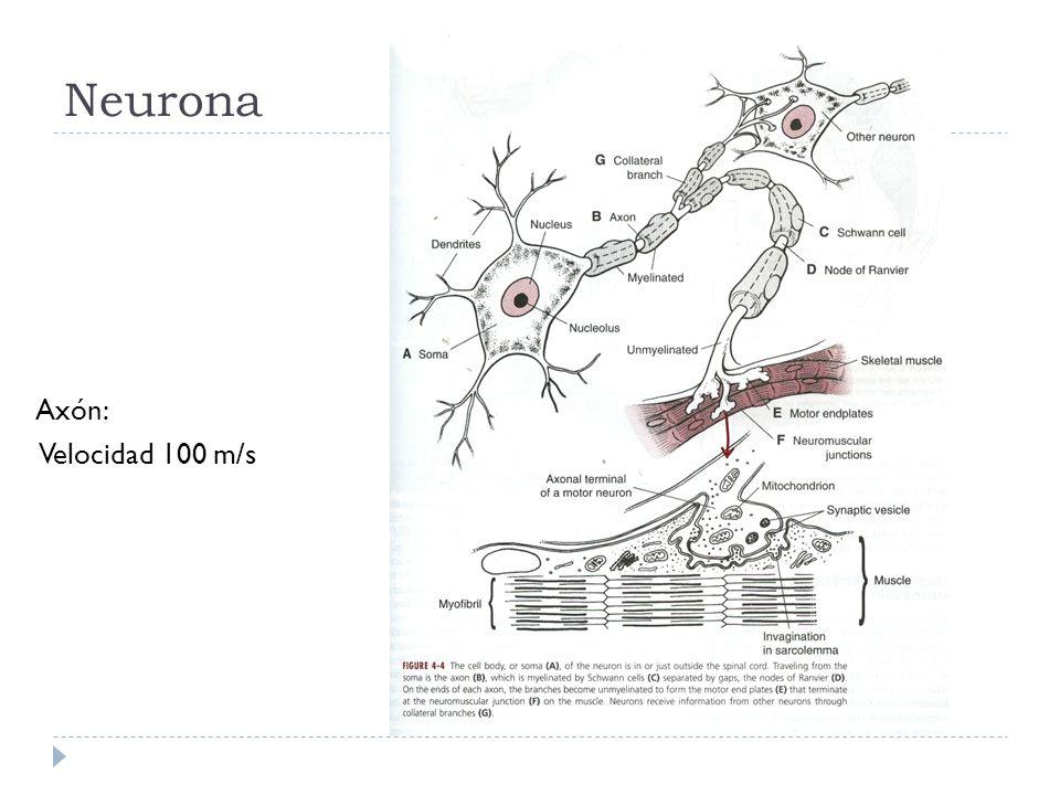 Neurona Axón: Velocidad 100 m/s