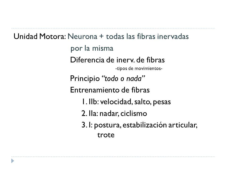 Unidad Motora: Neurona + todas las fibras inervadas por la misma Diferencia de inerv. de fibras -tipos de movimientos- Principio todo o nada Entrenami