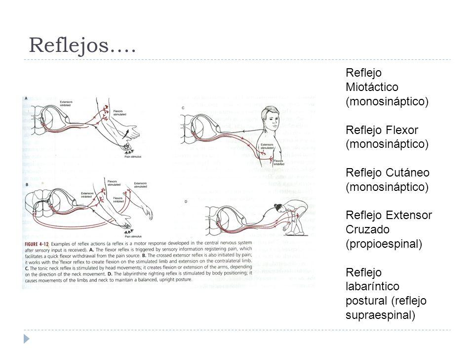 Reflejos…. Reflejo Miotáctico (monosináptico) Reflejo Flexor (monosináptico) Reflejo Cutáneo (monosináptico) Reflejo Extensor Cruzado (propioespinal)