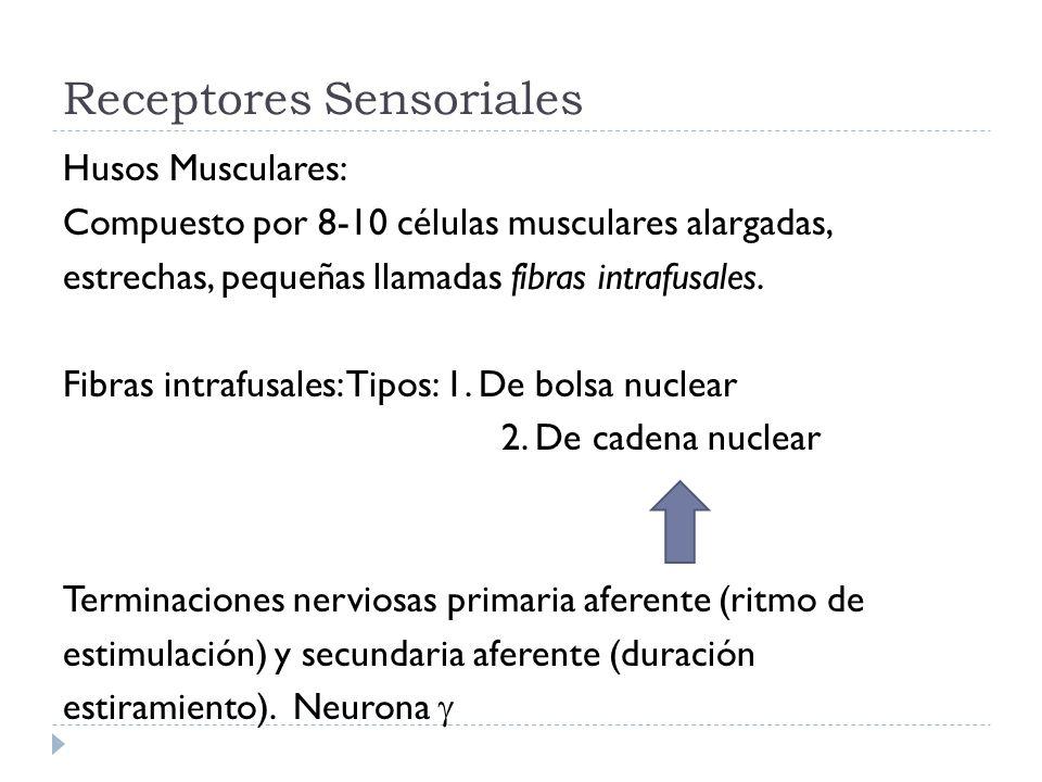 Receptores Sensoriales Husos Musculares: Compuesto por 8-10 células musculares alargadas, estrechas, pequeñas llamadas fibras intrafusales. Fibras int