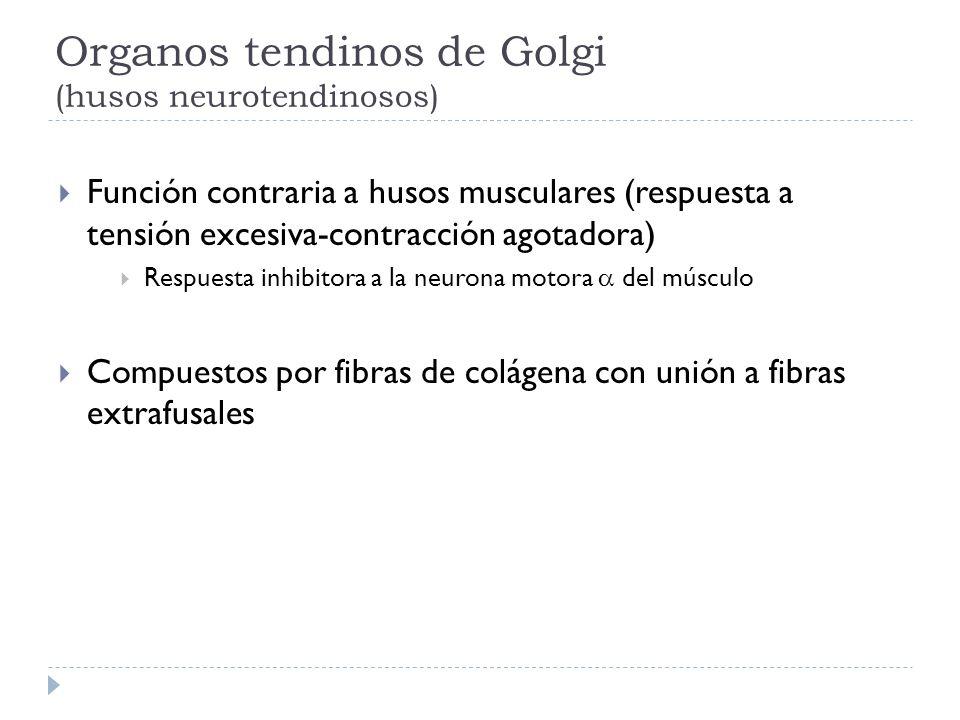 Organos tendinos de Golgi (husos neurotendinosos) Función contraria a husos musculares (respuesta a tensión excesiva-contracción agotadora) Respuesta